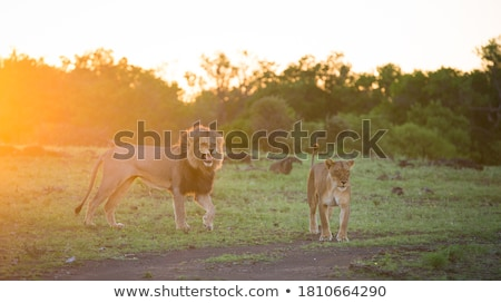 Male Lion doing a flehmen grimace. stock photo © simoneeman