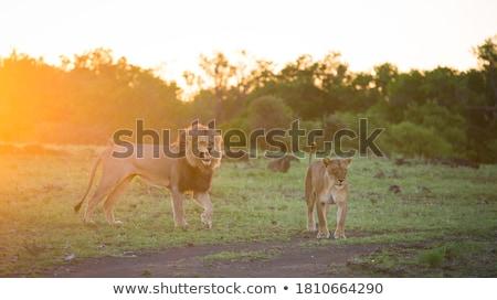 férfi · oroszlán · grimasz · park · utazás · Afrika - stock fotó © simoneeman