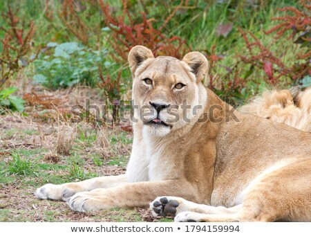 Head of a male Lion sticking out of the grass. Stock photo © simoneeman