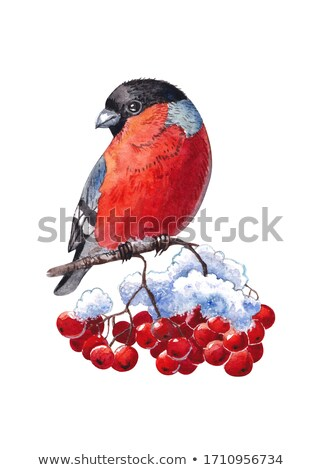 Christmas watercolor illustration of bullfinch Stock photo © Sonya_illustrations