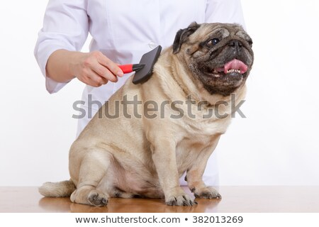 the vet combed wool pug dog on white background Stock photo © dadoodas