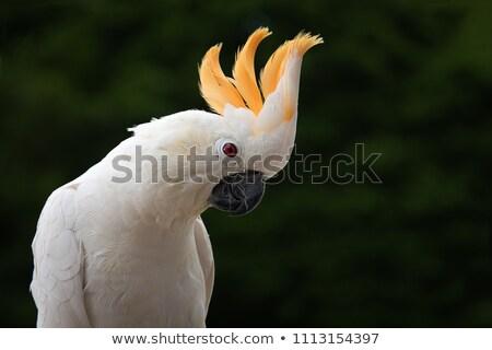 Fej kakadu tollazat textúra toll Stock fotó © IS2