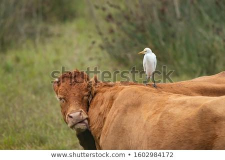 Sığırlar ayakta çayır Hawaii ABD doğa Stok fotoğraf © dirkr