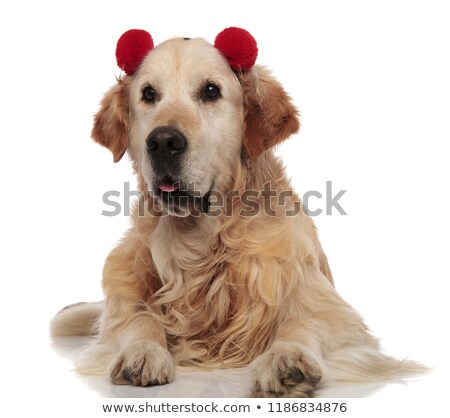 cute labrador with red fluffy earmuffs looks to side Stock photo © feedough