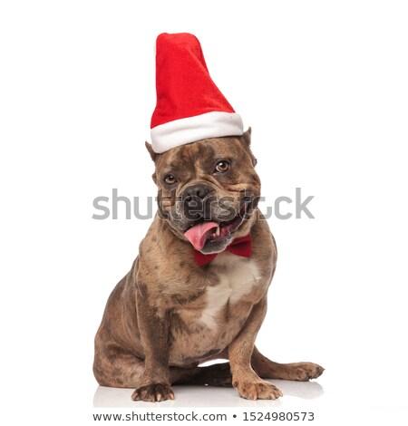 elegant american bully with santa cap sitting and panting Stock photo © feedough