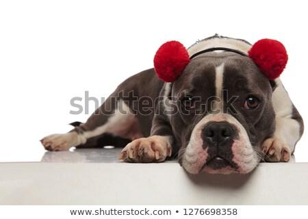 Bonitinho americano vermelho borda branco cão Foto stock © feedough