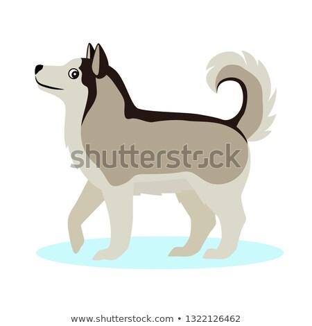 Сток-фото: Pretty Alaskan Malamute Icon Big Furry Dog Isolated On White Background