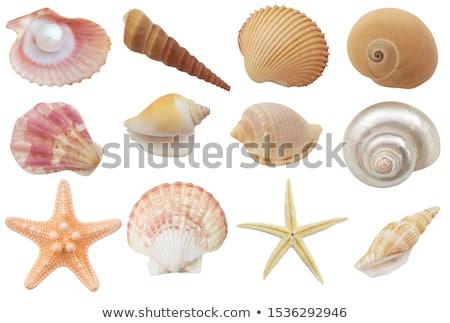 Roze schelpen zeester illustratie voedsel natuur Stockfoto © bluering