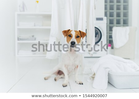 White and brown dog bites washed linen hanging on clothes dryer, sits on floor in laundry room near  Stock photo © vkstudio