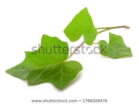 Klimop witte bladeren houten ondiep Stockfoto © AGfoto