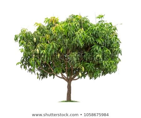 Mango ağaç Taylandlı meyve ağacı güneş meyve Stok fotoğraf © beemanja
