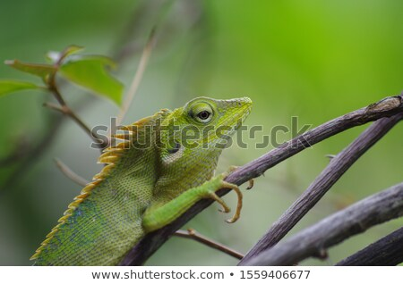little Agama lizard Stock photo © smithore
