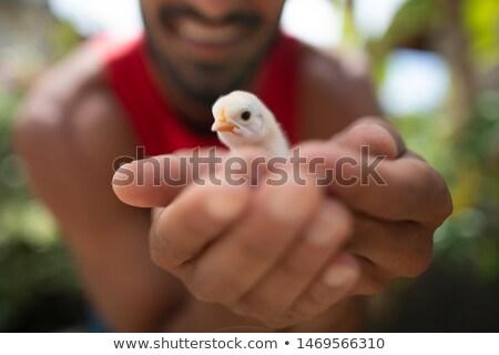 küçük · kabarık · tavuk · kadın · eller · Paskalya - stok fotoğraf © lightkeeper