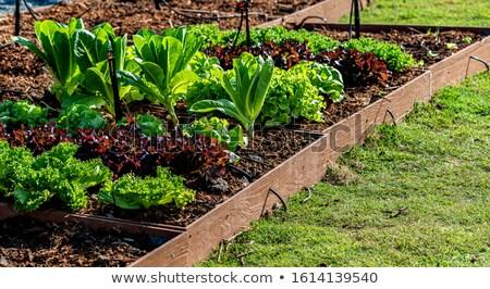 vert · laitue · salade · 16 · alimentaire · feuille - photo stock © TheProphet