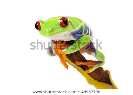 Red-Eyed Green Tree Frog Prince with Crown Stock photo © davidgn