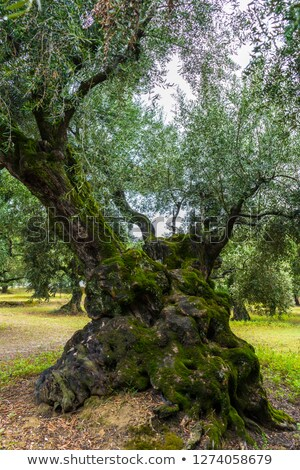 adnate old tree trunk Stock photo © prill