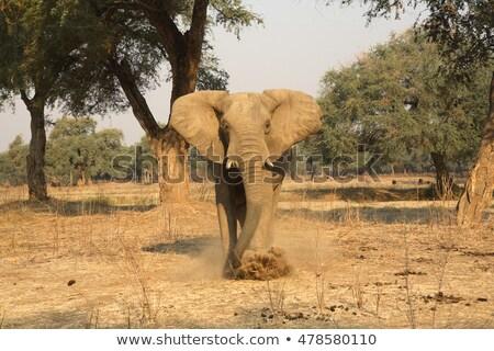 elephant bull charging stock photo © timwege