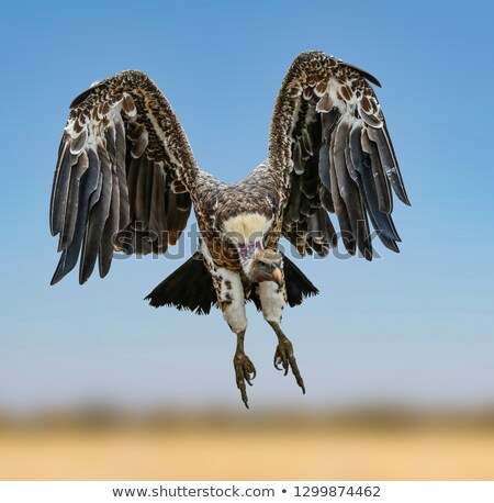 Vulture in flight Stock photo © broker