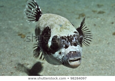 Masked puffers in the Red Sea. Stock photo © stephankerkhofs
