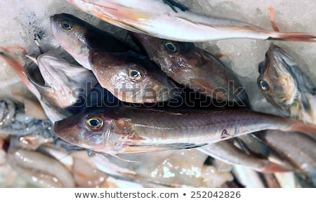 tub gurnard - gallinella di mare Stock photo © Antonio-S
