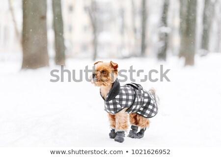 Cãozinho bota sapato branco estúdio sessão Foto stock © arcoss