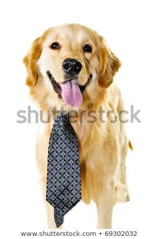 golden · retriever · hond · stropdas · grappig · geïsoleerd - stockfoto © elenaphoto