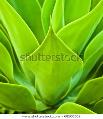 agave · завода · природного · солнечный · свет · природы · свет - Сток-фото © meinzahn