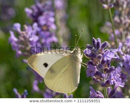 lagartas · repolho · borboleta · macro · natureza · planta - foto stock © zerbor