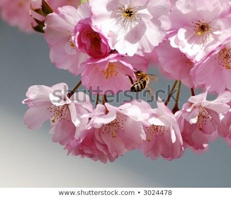 Cherry Blossoms And Honeybee Zdjęcia stock © manfredxy