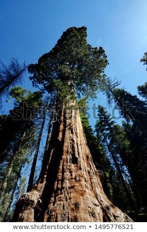 Sunlit California Sequoia Redwood Pine Trees Stock photo © wolterk