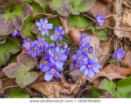 Mujer azul forestales hoja Foto stock © taden