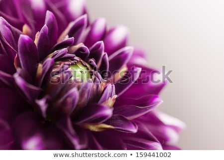 Сток-фото: фиолетовый · цветок · выстрел · тесные · расстояние