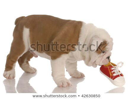 english bulldog puppy chewing on small running shoe   seven weeks old stock photo © willeecole