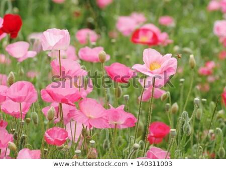 Bee roze poppy bloem honingbij nectar Stockfoto © stocker