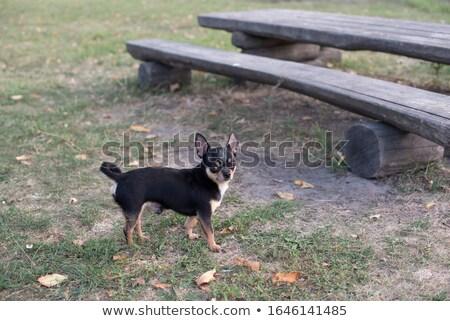 black chihuahua stock photo © ivonnewierink