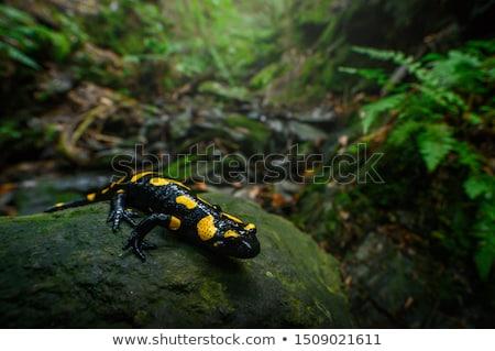 Stock photo: fire salamander salamandra closeup in forest outdoor