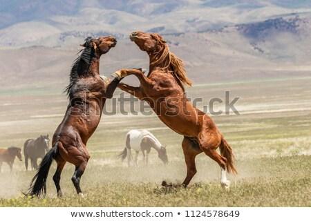 horses fighting stock photo © mady70