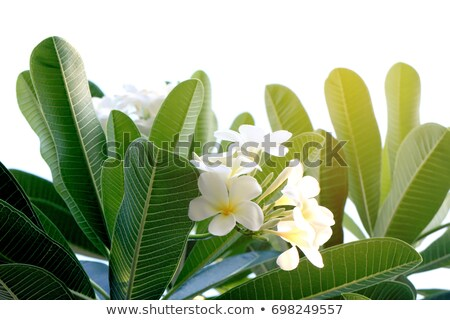 Blossoming jasmine branch in back light Stock photo © serpla
