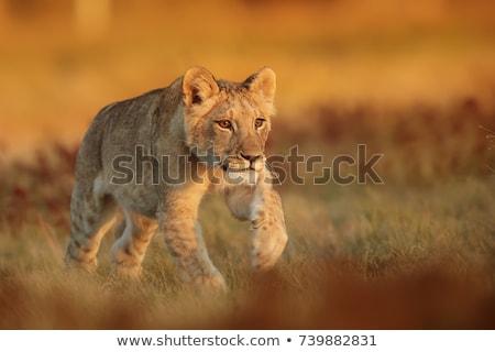 közelkép · portré · fiatal · oroszlán · bámul · természet - stock fotó © oleksandro