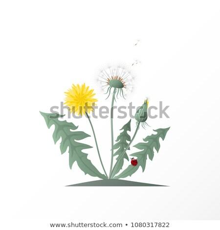 karahindiba · makro · yalıtılmış · beyaz · çiçek - stok fotoğraf © arenacreative