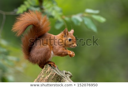 cute red squirrel in autumn stock photo © anterovium