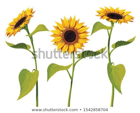 Drie zonnebloemen arrangement schoonheid bladeren geïsoleerd Stockfoto © zhekos