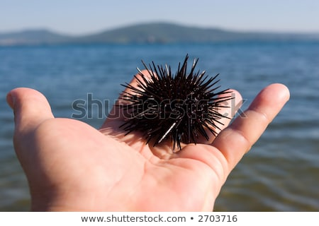 sea hedgehog lays on a man's hand Stock photo © master1305