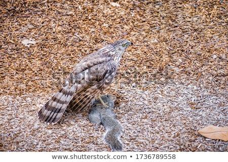 Falcão alimentação esquilo nativo norte americano Foto stock © yhelfman