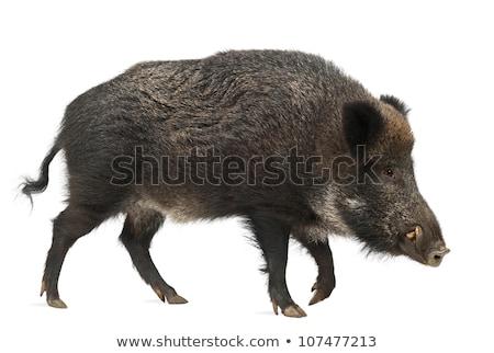full length isolated wild boar Stock photo © taviphoto