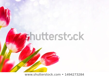 Red tulips background stock photo © Lana_M