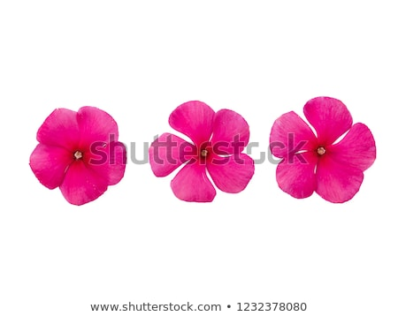 A pink five-petal flower Stock photo © bluering