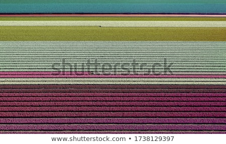 Magnífico campo tulipas holandês panorama bom Foto stock © lypnyk2