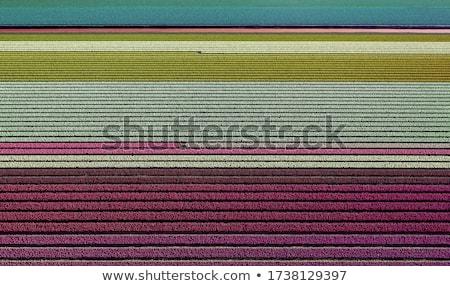 Magnífico campo tulipanes Holanda panorama agradable Foto stock © lypnyk2