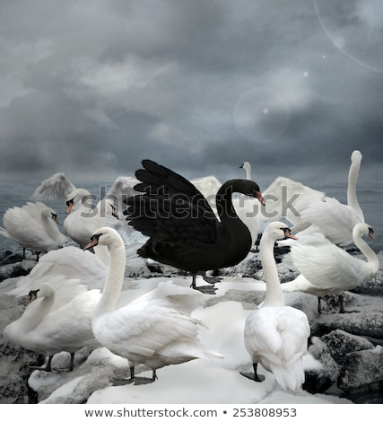 swans in black and white stock photo © hunterx